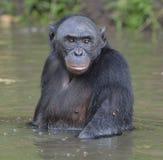 Der Bonobo, der im Wasser steht, sucht nach der Frucht, die in Wasser fiel Bonobo (Pan-paniscus) Stockfoto