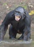 Der Bonobo, der im Wasser steht, sucht nach der Frucht, die in Wasser fiel Bonobo (Pan-paniscus) Stockfotos