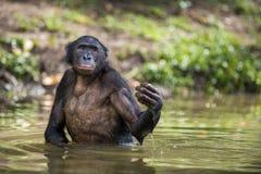 Der Bonobo, der im Wasser steht, sucht nach der Frucht, die in Wasser fiel Bonobo-Pan-paniscus Demokratische Republik Kongo Lizenzfreie Stockfotografie