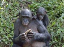 Der Bonobo (Pan-paniscus) weiblichen Bonobo mit einem Jungen auf einer Rückseite essend Stockfoto