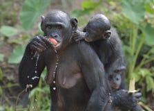Der Bonobo (Pan-paniscus) weiblichen Bonobo mit einem Jungen auf einer Rückseite essend Stockfotos