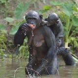 Der Bonobo (Pan-paniscus) weiblichen Bonobo mit einem Jungen auf einer Rückseite essend Lizenzfreie Stockbilder