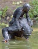 Der Bonobo u. das x28; Pan-paniscus& x29; die Stellung auf ihren Beinen im Wasser mit einem Jungen auf einer Rückseite und die Ge Lizenzfreies Stockbild