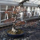 Der ` Bonsai-Acers Palmatum Deshojo-` japanische Rotahorn in Londo Stockfotografie