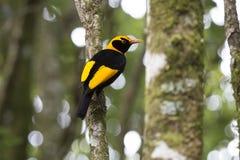 Der Bowerbird des Regenten auf Regenwaldbaum lizenzfreies stockfoto