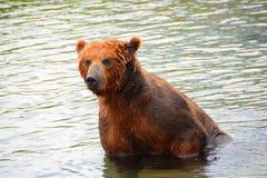 Der Braunbär, der im Wasser sitzt Stockbild