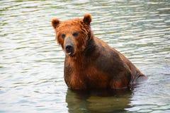 Der Braunbär, der im Wasser sitzt Lizenzfreies Stockfoto