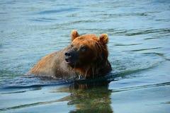 Der Braunbär, der im Wasser sitzt Lizenzfreies Stockbild
