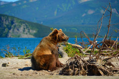 Der Braunbär, der im Wasser sitzt Lizenzfreie Stockfotografie