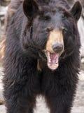 Der Braunbär (Ursus arctos) gehört zu dem größten und dem meisten powe lizenzfreie stockfotografie