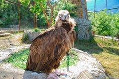 Der braune Adler sitzt auf einem Stein vor dem hintergrund der grünen Bäume Stockfotos