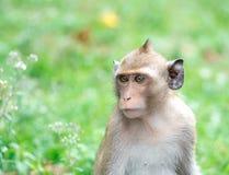 Der braune Affe Lizenzfreie Stockbilder