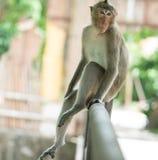 Der braune Affe, der auf der Eisenschiene sitzt Stockfotos