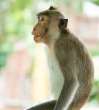 Der braune Affe hat eine schwarze Mole auf den Lippen Lizenzfreie Stockfotos