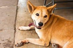 Der braune Hund. Lizenzfreies Stockfoto