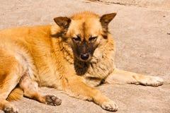 Der braune Hund. Lizenzfreie Stockbilder