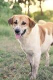 Der braunhaarige Hund machte eine Geste mit hundert Lächeln auf dem Gesicht stockbild