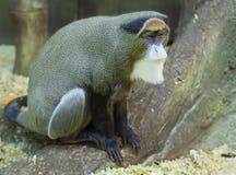 Der Brazza-Affe Stockfoto