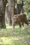 Der brennende Tiger stockfoto