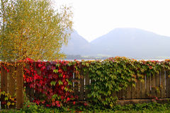 Der Bretterzaun mit den grünen und roten Blättern der Liane und mit den Bergen auf dem Hintergrund am sonnigen Tag Stockfoto