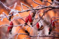 Der Briarbusch bedeckt durch den Schnee Lizenzfreie Stockbilder