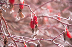 Der Briarbusch bedeckt durch den Schnee Lizenzfreie Stockfotografie