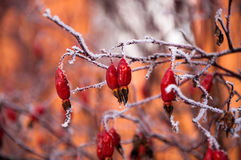 Der Briarbusch bedeckt durch den Schnee Lizenzfreies Stockbild