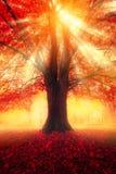 der bunte Hintergrund Baum mit Rotblättern und Sonnenlicht stockfotos