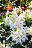 Der Busch der weißen Blume des Blütenfrühlinges Stockfotos
