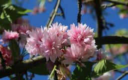 Der Busch des blühenden Rosas Kirschblüte im Park zieht mit seiner Schönheit und angenehmen Geruch an Ein wunderbares Geschenk fü stockbilder
