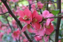 Der Busch geblüht mit rosa Blumen stockbild