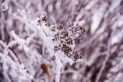 Der Busch verzweigt sich mit den Samen, die durch den Schnee bedeckt werden Stockbild