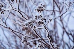 Der Busch verzweigt sich mit den Samen, die durch den Schnee bedeckt werden Stockfotografie