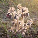 Der Busch von Blumen pasque Nahaufnahme mit Hintergrundbeleuchtung im wilden Stockfotografie