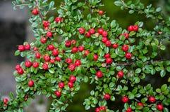 Der Busch von roten Beeren Lizenzfreie Stockfotos