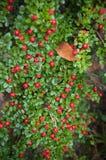 Der Busch von roten Beeren auf dem unscharfen Hintergrund Lizenzfreies Stockbild