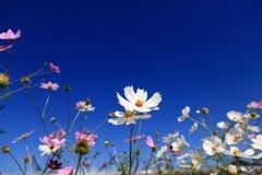 der Calliopsis unter dem blauen Himmel Stockfoto
