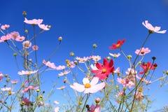 Der Calliopsis unter dem blauen Himmel Lizenzfreie Stockfotos