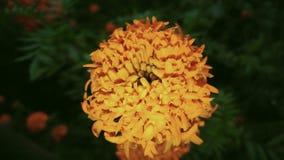 der Charme einer Kosmos caudatus Blume zwischen der Dunkelheit der Dämmerung stockbilder