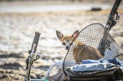 Der Chihuahuahund sitzt im Fahrradwarenkorb sonnigen Tag genießend Stockfotos