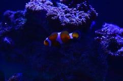 Der Clownfisch schwimmt nahe den Felsen an einer Tiefe Lizenzfreie Stockfotografie