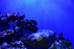 Der Clownfisch schwimmt nahe den Felsen an einer Tiefe Stockfotos