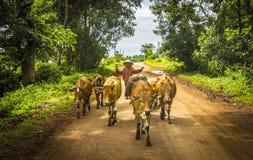 Der Cowboy und die Kühe stockfoto
