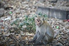 Der defekte Affe, der etwas vom Auto schaut, albern thailan herum Stockfotografie