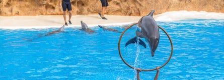 Der Delphin springend durch einen Ring Lizenzfreie Stockfotos