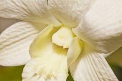 Der Dendrobium, die weiße Orchidee Lizenzfreie Stockbilder