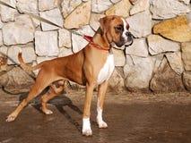 Der deutsche Boxer 02 stockfotos
