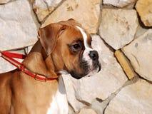 Der deutsche Boxer 03 Lizenzfreies Stockbild