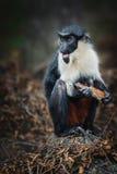 Der Diana-Affe Stockfotografie
