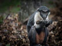 Der Diana-Affe Stockbilder